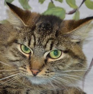 Domestic Longhair/Domestic Shorthair Mix Cat for adoption in Englewood, Florida - Loki