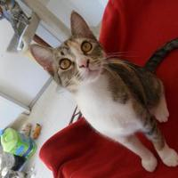 Domestic Shorthair/Domestic Shorthair Mix Cat for adoption in Thomasville, Georgia - Jackie Flash