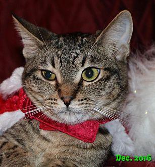 Domestic Shorthair Cat for adoption in Encino, California - Nate