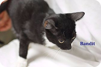 Domestic Shorthair Kitten for adoption in Miami Shores, Florida - Bandit