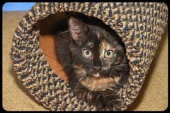 Domestic Mediumhair Kitten for adoption in Brick, New Jersey - Calypso