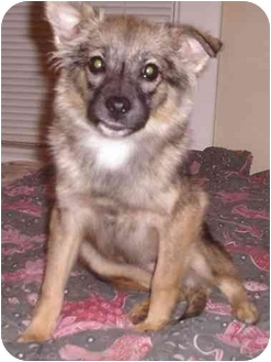 Pomeranian/Chihuahua Mix Puppy for adoption in Nashville, Tennessee - Bambi- Adopted