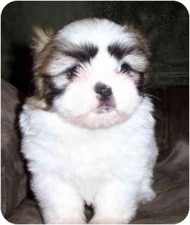 Shih Tzu Puppy for adoption in McDonough, Georgia - Jody