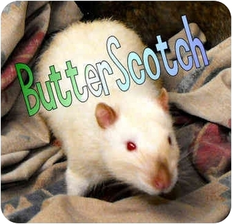 Rat for adoption in Las Vegas, Nevada - Butterscotch