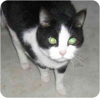 Domestic Shorthair Cat for adoption in Strathmore, Alberta - Gabby