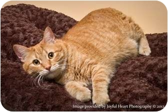 Domestic Shorthair Cat for adoption in Crookston, Minnesota - Merlin