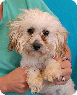 Maltese/Poodle (Toy or Tea Cup) Mix Puppy for adoption in Las Vegas, Nevada - Buttercup