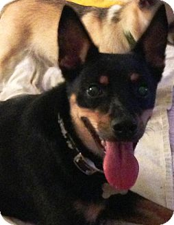 German Shepherd Dog/Rat Terrier Mix Dog for adoption in Kalamazoo, Michigan - Breilla