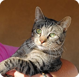 Domestic Shorthair Cat for adoption in Palmdale, California - Crunches