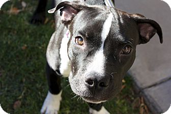 Pit Bull Terrier Mix Puppy for adoption in Phoenix, Arizona - Celeste