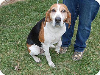Treeing Walker Coonhound Dog for adoption in North Judson, Indiana - Ingrid