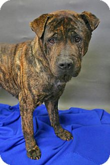 Bullmastiff/Chow Chow Mix Dog for adoption in Sidney, Ohio - Tank