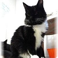 Adopt A Pet :: Fluffy - Shelton, WA