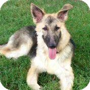 German Shepherd Dog Dog for adoption in Austin, Texas - Little Miss Sunshine