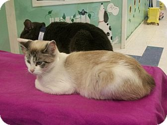 Siamese Cat for adoption in Martinsville, Indiana - Greer