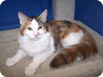 Calico Cat for adoption in Colorado Springs, Colorado - K-Ellie5-Butterfly