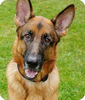 German Shepherd Dog Dog for adoption in Wayland, Massachusetts - Koda