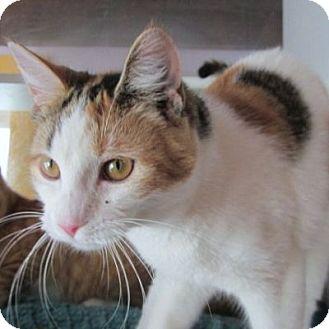 Domestic Shorthair Cat for adoption in Lyons, New York - Gigi