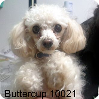 Poodle (Toy or Tea Cup) Dog for adoption in Greencastle, North Carolina - Buttercup