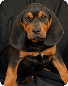 Black and Tan Coonhound/Beagle Mix Puppy for adoption in Newland, North Carolina - Goose