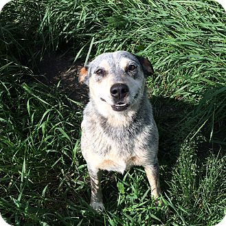 Blue Heeler Dog for adoption in Calgary, Alberta - SOPHIE