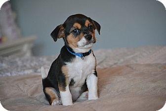 Shih Tzu/Beagle Mix Puppy for adoption in Staunton, Virginia - Meggie
