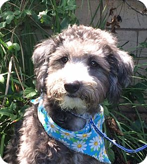 Schnauzer (Miniature)/Poodle (Miniature) Mix Dog for adoption in Irvine, California - SASHA