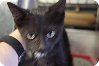 Domestic Shorthair Kitten for adoption in Henderson, North Carolina - Ashley*