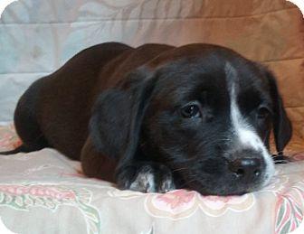 Border Collie/Australian Kelpie Mix Puppy for adoption in Gilbert, Arizona - Braidon