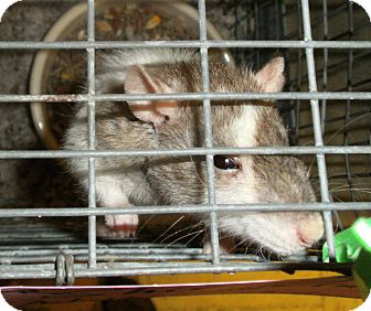 Rat for adoption in El Cajon, California - Shirley
