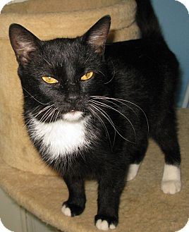 Domestic Shorthair Cat for adoption in Bedford, Virginia - Twiggy