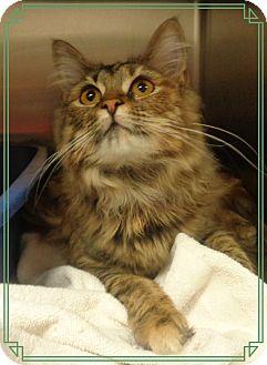 Domestic Mediumhair Cat for adoption in Marietta, Georgia - JULIET (Tabitha)available 3/20