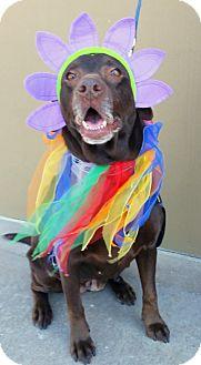 Labrador Retriever Dog for adoption in Coppell, Texas - Praline