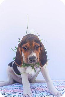Coonhound/Labrador Retriever Mix Puppy for adoption in Auburn, California - Chase