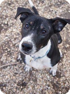 Hound (Unknown Type)/Mixed Breed (Large) Mix Dog for adoption in Philadelphia, Pennsylvania - Maria
