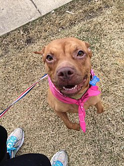 American Pit Bull Terrier Mix Dog for adoption in Covington, Tennessee - Rosie