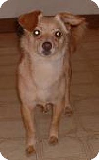 Chihuahua Mix Dog for adoption in Antioch, California - Cinnamon