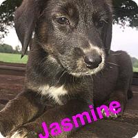 Labrador Retriever/Shepherd (Unknown Type) Mix Puppy for adoption in Lexington, North Carolina - Jasmine