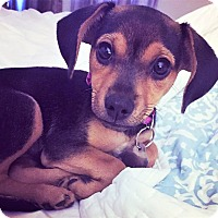 Adopt A Pet :: Gilli Bean - Huntsville, AL