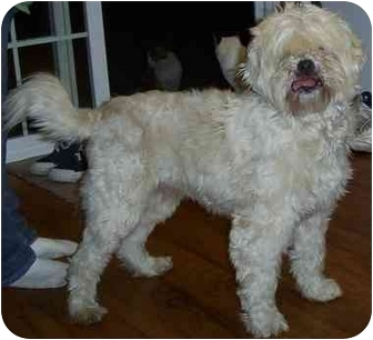 Maltese/Terrier (Unknown Type, Medium) Mix Dog for adoption in Woodsfield, Ohio - Winston