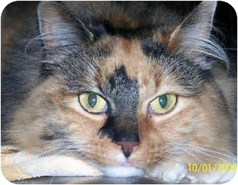 Calico Cat for adoption in Overland Park, Kansas - Gwendolyn