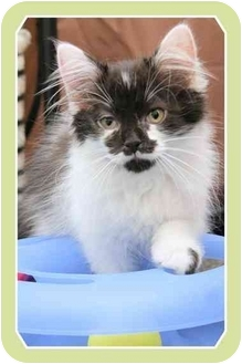 Domestic Mediumhair Kitten for adoption in Sterling Heights, Michigan - Junipurr - ADOPTED!