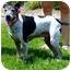 Photo 2 - Italian Greyhound Mix Dog for adoption in Batavia, Ohio - Racer