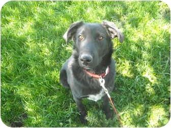 German Shepherd Dog/Border Collie Mix Dog for adoption in Milaca, Minnesota - Buddy