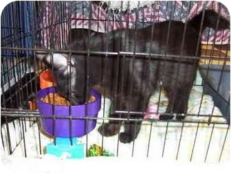 Domestic Longhair Kitten for adoption in San Diego/North County, California - Fritz