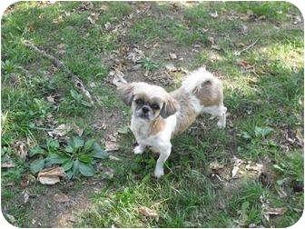 Shih Tzu Dog for adoption in Deer, Arkansas - Lacy