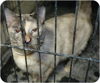 Siamese Cat for adoption in Ripley, Tennessee - Skye  *FREE*