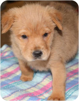 Shepherd (Unknown Type)/Terrier (Unknown Type, Medium) Mix Puppy for adoption in Sacramento, California - Syria and Siblings