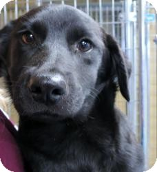 Labrador Retriever Mix Puppy for adoption in Williston, Vermont - Jordan