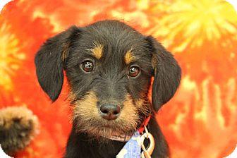 Terrier (Unknown Type, Medium) Mix Puppy for adoption in Broomfield, Colorado - BRECKenridge
